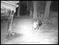Bushpig outside our cabin in the dark of night