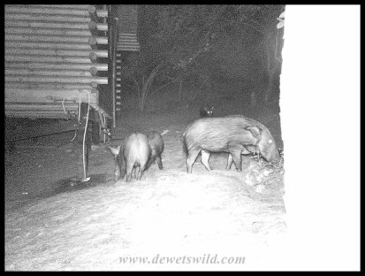 Bushpigs outside our cabin in the dark of night