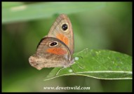 Cape Brown butterfly