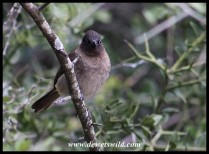 Cape Bulbul coming to welcome us at our cottage