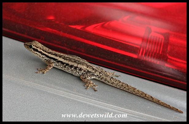 Common Dwarf Gecko