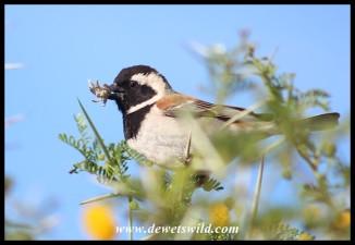 Cape Sparrow (male)