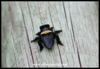Carpenter Bee Robber Fly