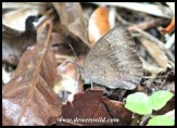 Common Bush Brown