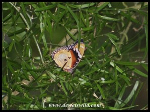 Common Diadem (female) mimicking African Monarch