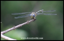 Common Tigertail dragonfly