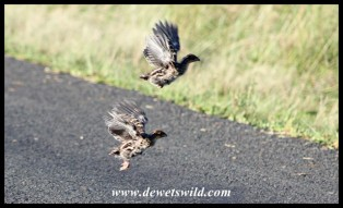 Crested Guineafowl chicks