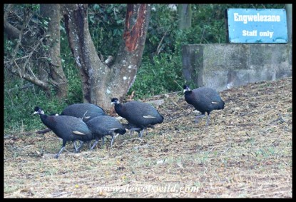 Crested Guineafowl leaving home for work (photo by Joubert)