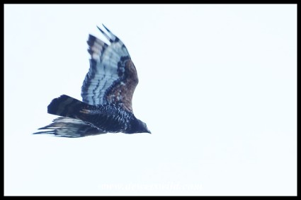 Crowned Eagle in flight