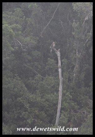 Distant view of a Crowned Eagle in the forest