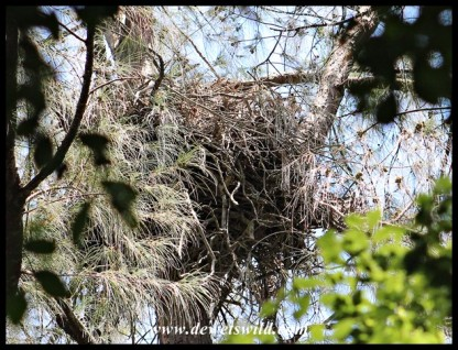Crowned Eagle nest