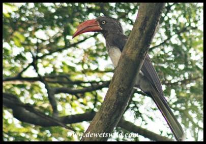 Crowned Hornbill (photo by Joubert)