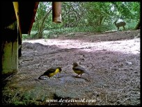 Dark-backed Weavers and a bushbuck in the background