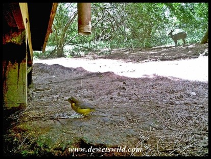 Dark-backed Weaver and a bushbuck in the background