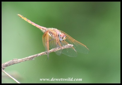 Dragonfly (photo by Joubert)