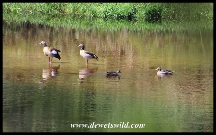 Egyptian Geese and Yellow-billed Ducks sharing a section of the Breede River