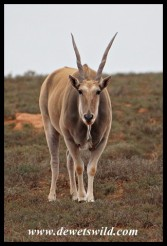 An Eland, our biggest antelope
