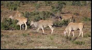 Herd of Eland