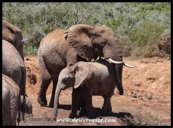 Big elephant bull being very protective of a youngster at the Marion Baree waterhole