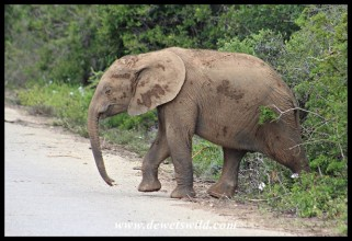 The future is secure for Addo's elephants