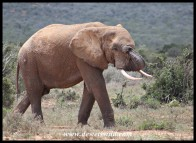 One of the elephants that Addo is famous for