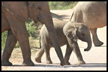 Another cute elephant calf