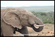 Elephant drinking at Spekboom waterhole