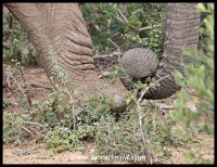 Marveling at the skill of an elephant uprooting plants to feed on