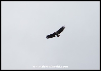 Young Fish Eagle overhead