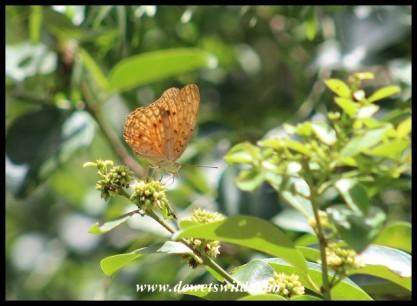 Forest Leopard butterfly