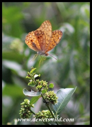 Forest Leopard butterfly