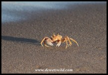 Ghost Crab on the beach at Cape Vidal
