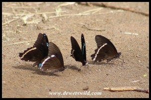 Green-banded Swallowtail butterflies