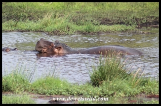 Hippos lazing at Amazibu Pan
