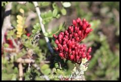 Karoo Boer-bean buds