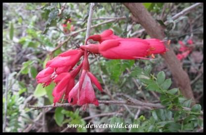 Karoo Boer-bean flowers