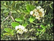 Karoo Num-num flowers