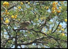 Karoo Prinia (photo by Joubert)