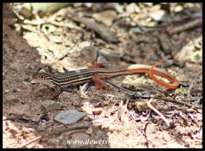 Karoo Sandveld Lizard at Jack's Picnic Spot