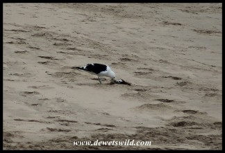 Kelp Gull scavenging on the beach