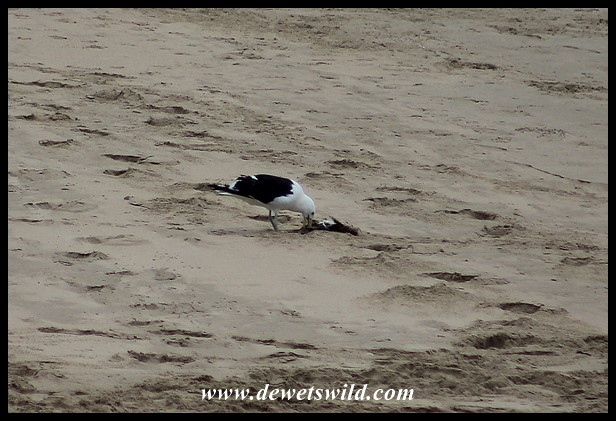 Kelp Gull scavenging on the beach
