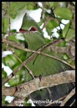 Knysna Turaco visiting us at our chalet in Nature's Valley (photo by Joubert)