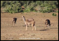 Small group of Kudu ewes