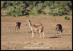 Small group of Kudu ewes