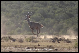 Kudu on the run