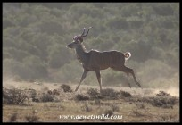 Kudu on the run