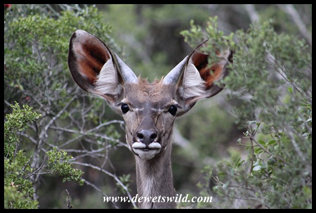 Curious young kudu bull