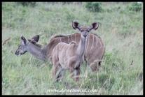 Cheeky Kudu calf