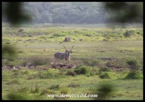 Enormous Kudu bull in the Mfabeni Swamp