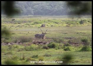 Enormous Kudu bull in the Mfabeni Swamp